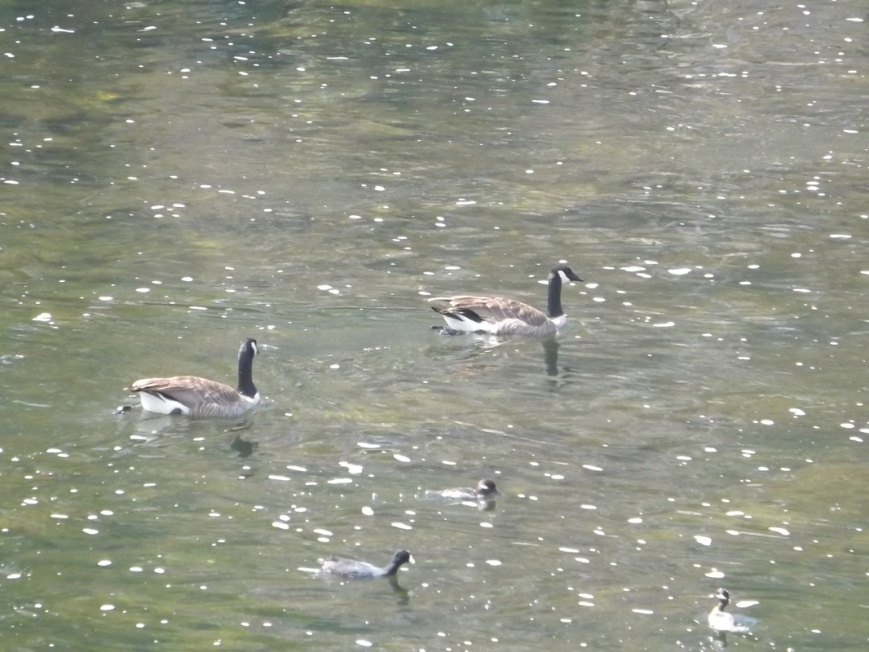 Canadian Geese (and a couple coots and a mallard) in the L.A. River.