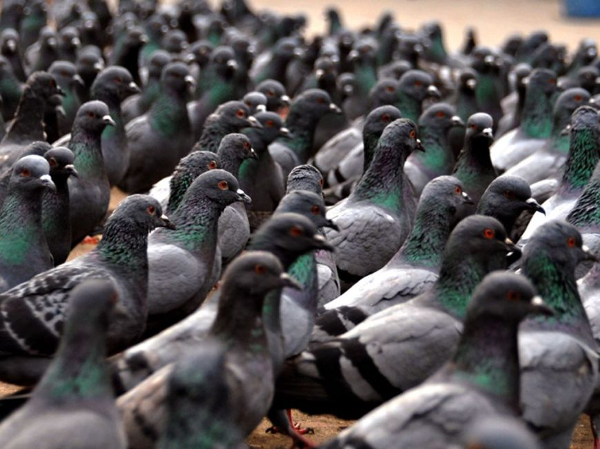 A hoi polloi of pigeons, unwilling to discover their inner rock dove.