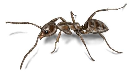 argentine-ant-illustration_568x336